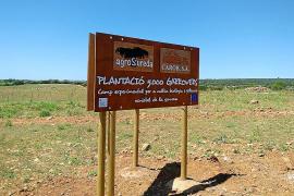 La demanda al alza de garrofí requiere una mayor plantación de algarrobos en Mallorca