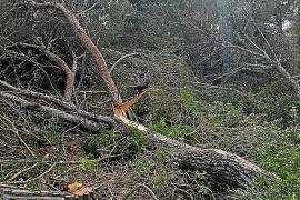 Sanción de 63.000 euros para los responsables de la tala de pinos de Cala Vinyes