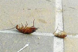 Julio dispara las quejas por la presencia de cucarachas en Palma