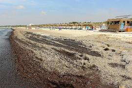 Emergències alerta del «elevado riesgo» que supone la acumulación de algas en es Trenc