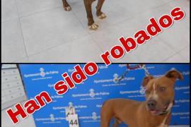 Asaltan de madrugada la perrera de Son Reus y roban dos pitbulls