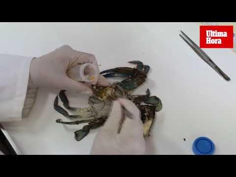 La amenaza del cangrejo azul