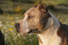 Liberado uno de los pitbulls sustraídos de Son Reus