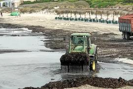 Medi Ambient reconoce que se retiró alga húmeda en es Trenc y plantea corregir el decreto