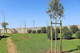 Una asociación de Son Ferriol denuncia la plantación de árboles tóxicos
