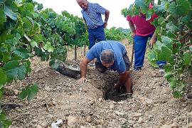 Son Vell saca a la luz el primer vino de Mallorca envejecido, literalmente, bajo tierra