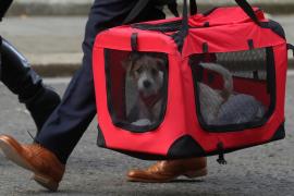 Un cachorro de ratonero bodeguero andaluz, nuevo inquilino de Downing Street