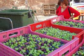 La Cooperativa de Sóller mantendrá el precio del año pasado para la oliva verde de mesa