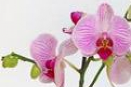 Les orquídies de Mondragó