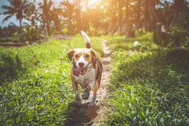 Una misteriosa enfermedad mata a decenas de perros
