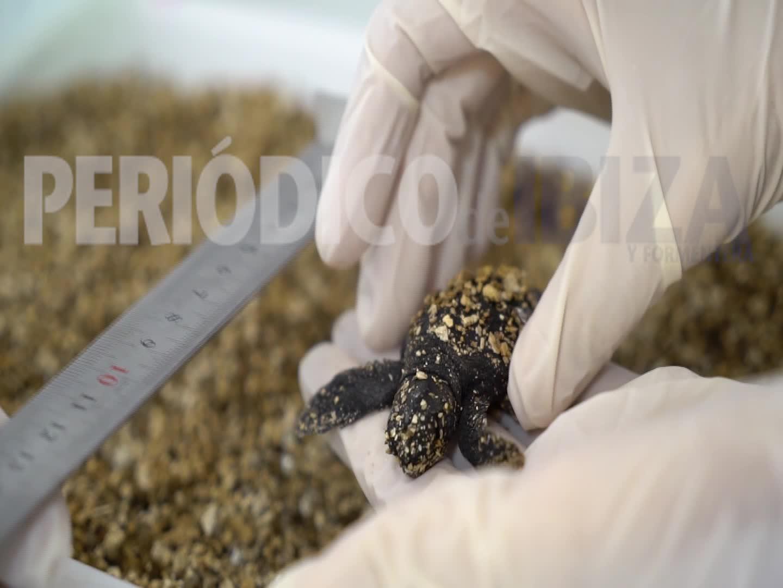 Nacen cinco tortugas de los dos desoves de este verano en las playas ibicencas