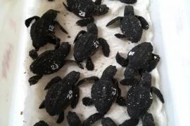 Nacen 17 nuevas tortugas de los desoves registrados en las playas de Ibiza este verano