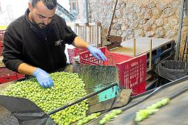 La cooperativa de Sóller prevé procesar 50 toneladas de oliva de mesa