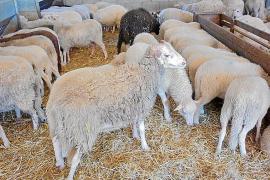 La sequía provoca unas pérdidas de 1,4 millones en el sector ovino mallorquín