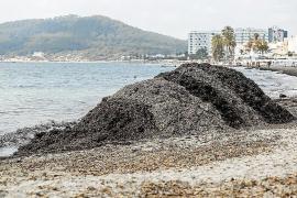 Ibiza, la isla con mayor rechazo a que se retire la posidonia muerta de parques naturales