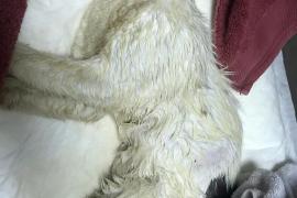 Bañan en salfumán a un gato en Bunyola