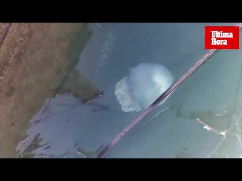 Una medusa gigante sorprende en el Club de Mar de Palma