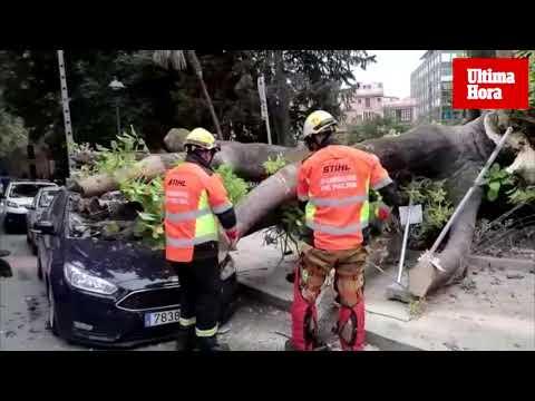 Cae un árbol sobre un coche en Palma