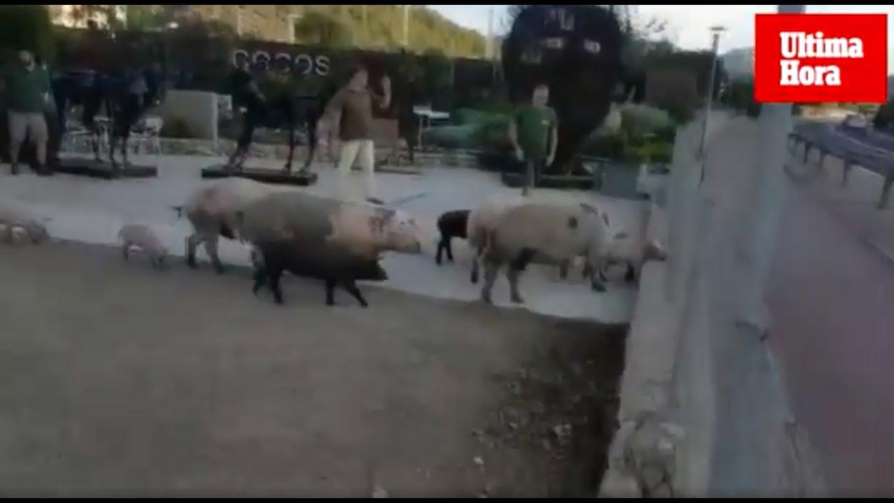 Una piara de cerdos pone en peligro el tráfico en el Port d'Andratx