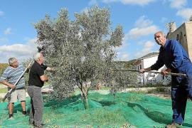 Los vecinos de Son Servera entregan once toneladas de aceitunas para transformarlas en aceite