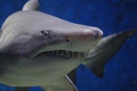 Nuevo ataque de tiburón en Australia