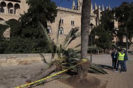 Los técnicos de Cort evaluarán el estado de los árboles tras el fatal suceso en Dalt Murada