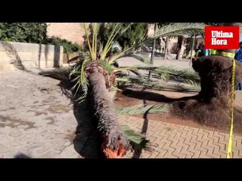 La palmera que ha matado a una mujer en Palma no estaba enferma