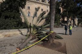 Cort asegura que este domingo revisaron «prácticamente la mitad» de los árboles de Palma