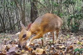 Una especie de ciervo diminuto reaparece después de 30 años