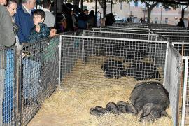 Treinta criadores participan en Inca el certamen de Porc Negre Mallorquí