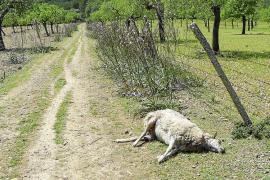 Matanza de ovejas en Manacor