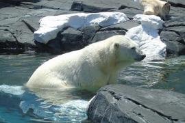 Los osos polares del Ártico, obligados a comer plástico