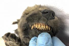 Encuentran al cachorro de una especie desconocida que murió hace 18.000 años