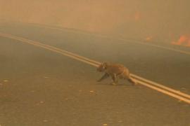 Muere el koala que una mujer salvó de un incendio en Australia