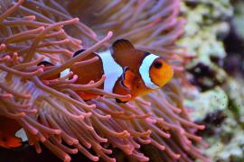 El pez de 'Buscando a Nemo' no podrá salvarse del cambio climático