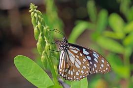 Mallorca registra la primera detección en Europa de una mariposa asiática