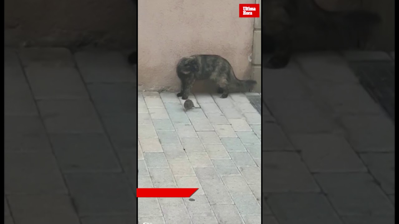 Ratas y gatos, como amigos en Cala Millor