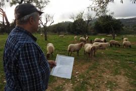 Un payés denuncia el robo de 15 corderos de una finca de Andratx