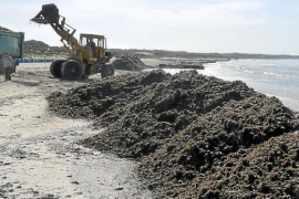 El GOB denuncia que la retirada mecánica de algas daña el sistema dunar de sa Ràpita