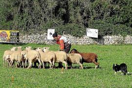 Los perros pastor exhíben toda su destreza en el manejo de las ovejas