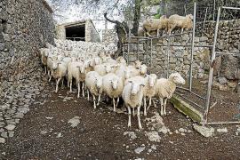 La finca de Ariant de Pollença recupera la oveja de pura raza mallorquina