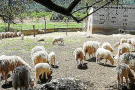 Cuarta matanza de ovejas por parte de perros en Manacor