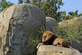 Fallece el león Teimoso