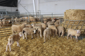 La falta de forrajes provoca que haya un excedente de corderos lechales por Navidad