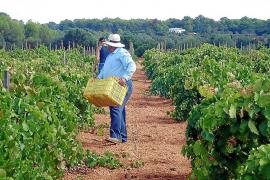 Las cifras de 2019 confirman el importante descenso de producción del sector vinícola en Mallorca