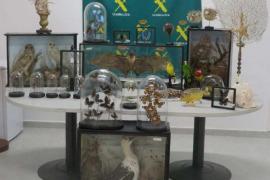 El Seprona recupera en Menorca 86 animales protegidos disecados
