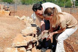 El conejo es declarado especie en peligro y el Consell espera directrices de la UE