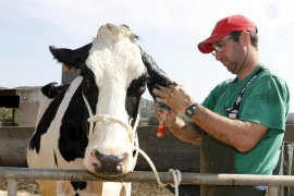Mallorca ha perdido el 41 % del ganado vacuno y el 17 % de ovejas en una década