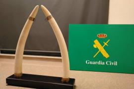 Venden por internet colmillos de elefantes que provenían de Mallorca