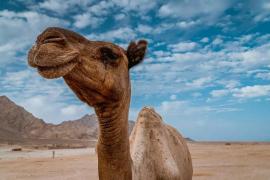 Por qué podría ser mejor la leche de camella que la de vaca